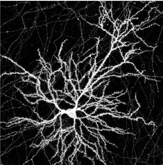 1_cortical_neuron_DIV21